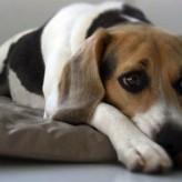 Tratamiento de la Artritis en Perros