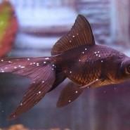 Tratamiento de los  hongos en peces