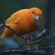 El canto del canario