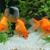 Pautas para alimentar los peces del acuario