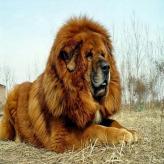 Razas de Perros de alto costo