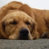Síntomas de la vejez en Perros
