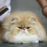 Caída de pelo en los Gatos