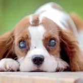 Cataratas en perros y su Tratamiento