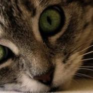 Cómo cuidar los ojos del Gato