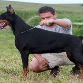 Cómo educar un Perro Doberman