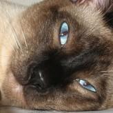 El Carácter del Gato Siamés