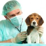 Cómo cuidar un perro con Distemper Canino