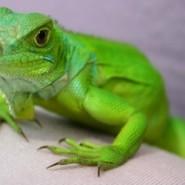 Desajustes nutricionales de las Iguanas