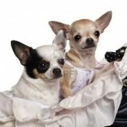 Enfermedades de los Chihuahuas