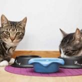 La alimentación de un gato adulto