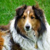 La raza de perro Rough Collie