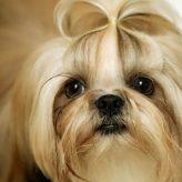Razas de Perros más independientes