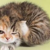 Tratamientos del acaro de oreja en gatos