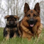 El perro Pastor Alemán y su salud