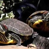 Las Tortugas Acuáticas y su Alimentación