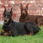 Origen del Perro de raza Doberman
