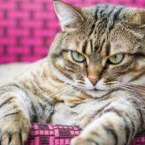 Qué hacer para que tu Gato Adelgace