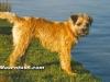 Border Terrier 01.jpg