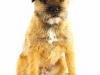 Border Terrier 02.jpg