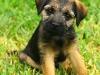 Border Terrier 06.jpg