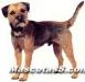 Border Terrier 07.jpg