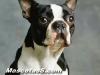 Boston Terrier 01.jpg