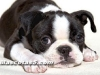 Boston Terrier 02.jpg