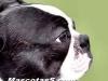 Boston Terrier 03.jpg
