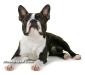 Boston Terrier 04.jpg