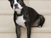 Boston Terrier 05.jpg