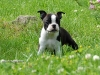 Boston Terrier 06.jpg