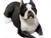 Boston Terrier 07.jpg