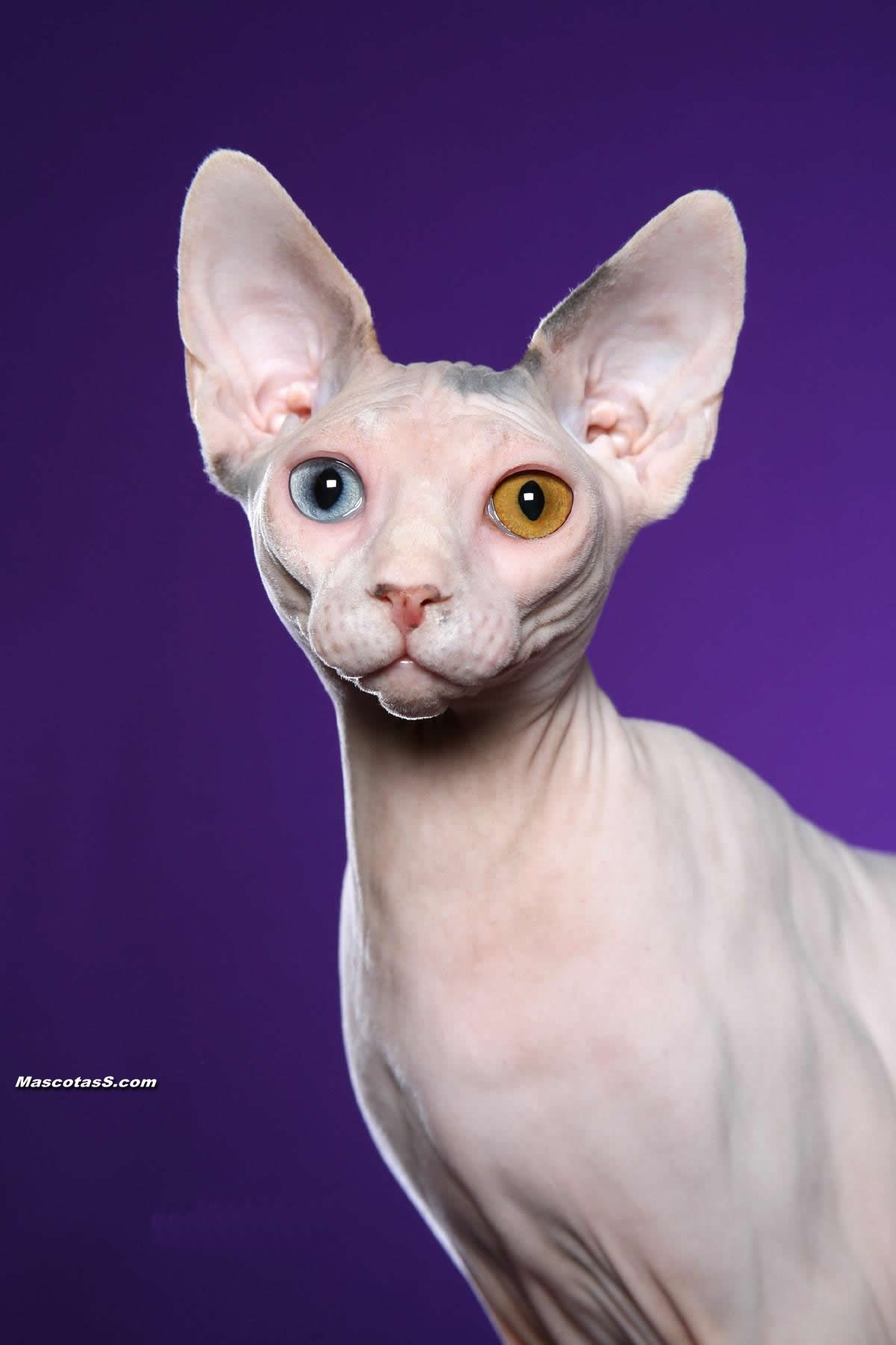 Sphynx Cat For Sale Ma