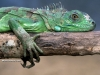 thumbs Iguanas 003 Wallpapers