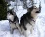 Alaskan Malamute 04.jpg