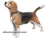 beagle 01.jpg