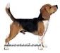 beagle 02.jpg