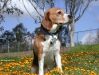 beagle 03.jpg