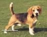 beagle 04.jpg