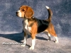 beagle 05.jpg
