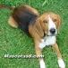 beagle 06.jpg