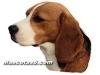 beagle 07.jpg