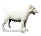 bull terrier 01.jpg