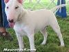 bull terrier 05.jpg