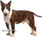 bull terrier 06.jpg