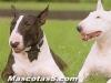 bull terrier 07.jpg