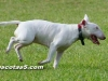 bull terrier 09.jpg
