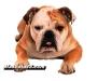 bulldog 03.jpg