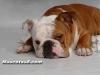 bulldog 05.jpg